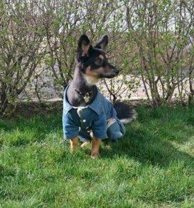Джинсовый костюмчик для собачки *с мехом*