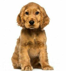 Отличные щенки Кокер-спаниеля