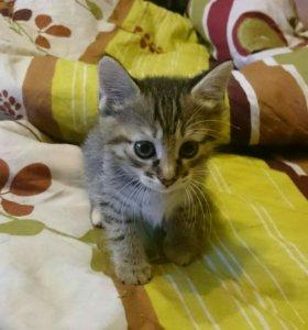 Котята курилского бобтейла