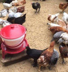 Продажа взрослых цыплят