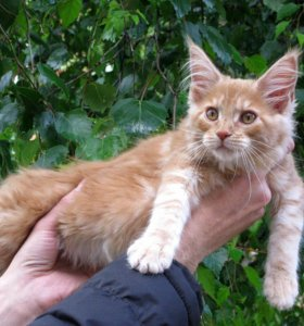 Котята Мейн-Кун,девочки,3 месяца