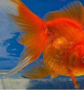 Золотые рыбки реукин.