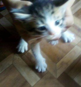 Британские котята(1 котёнок) СРОЧНО!