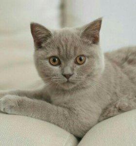 Лиловая британская кошка