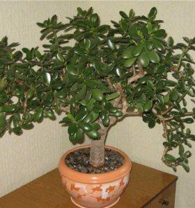 Денежное дерево/толстянка