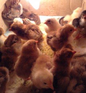 Кучинские цыплята и помеси