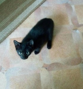 Черный короткохвостый котик.
