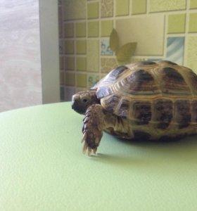 Средне-азиатские сухопутные черепахи