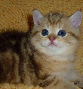 Котенок золотой мрамор