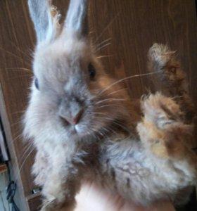 Кролик декоративный 4.5мес.