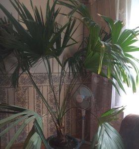 Настоящая южная пальма (1,8м)