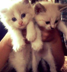 Котята от тайской кошки