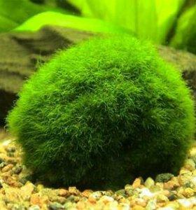 Кладофора в аквариум