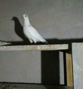 Иранские высоколетные голуби