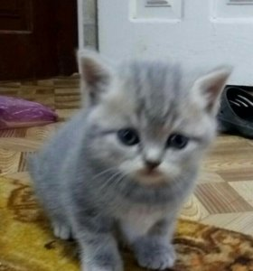 Очень милые породистые котята