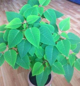 Комнатное растение пуансеттия,рождеств.звезда