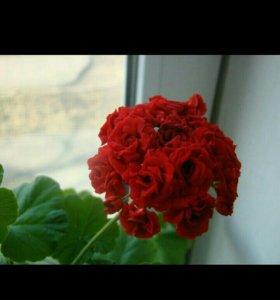 Пеларгония розебудная.На цвету.