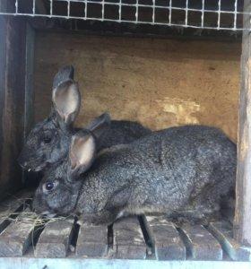 Кролики великаны самки