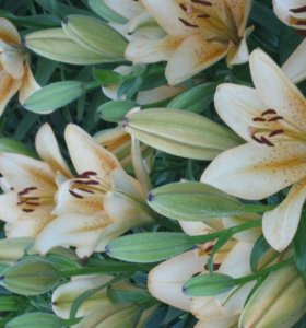 Лилии сорт ла- гибрид