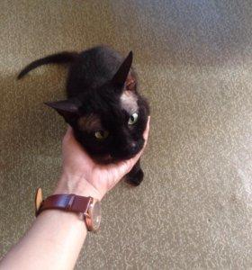 Продам кота. Канадский сфинкс