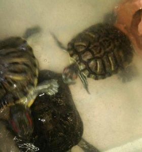Черепахи 3 шт.
