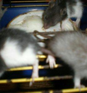 Очаровательные ,веселые крысята.