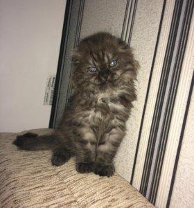 Котенок(вислоухий)