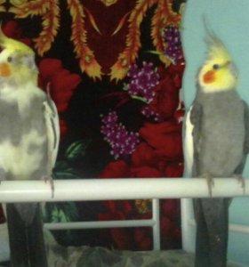 Кореллы попугаи