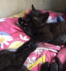 Котята(девочки, 2 месяца)