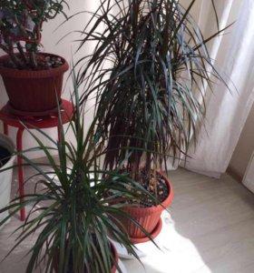 Растение драцена пальма