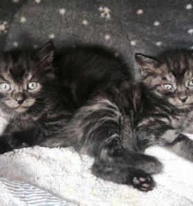Котёнок метис, британец чёрный дым
