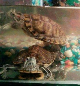 Срочно Черепахи красноухие
