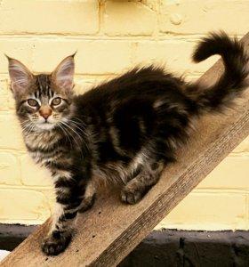Котята из известного питомника