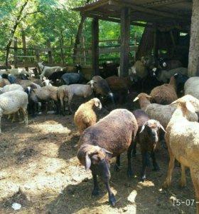 Бараны овцы козы