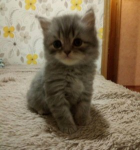 Котята (скотиш страйт)