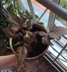 """Растение """"Ипомея"""" шоколадно-зеленые листья"""