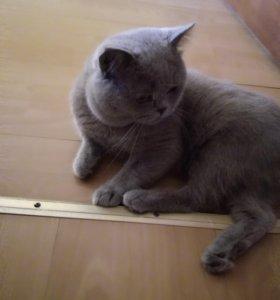 Продаю британского кота