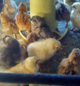 Цыплят Брама