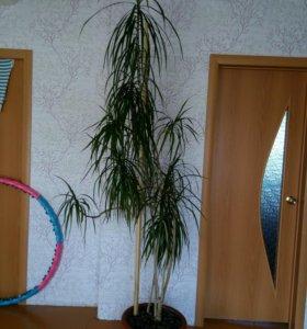Драцена 2 м. 10 см