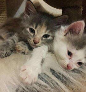 Котята сибирской кошки с неизвестным котом