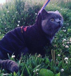 Шотландский кот шотландец вязка