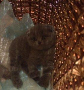 Чистокровные котятки