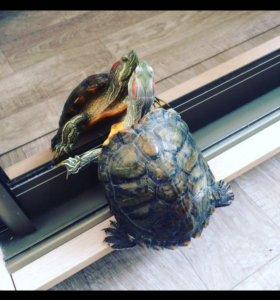 Черепаха 🐢
