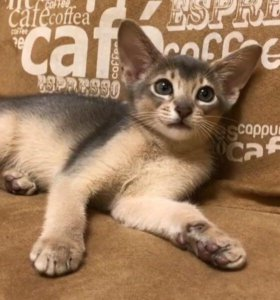 Абиссинский котенок 🐱