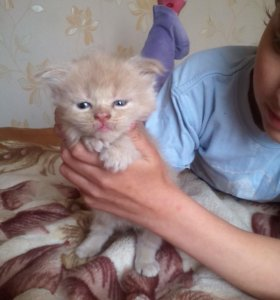 Котята мей кун