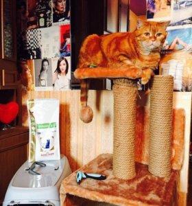Кот скоттиш-страйт БЕСПЛАТНО!!!!