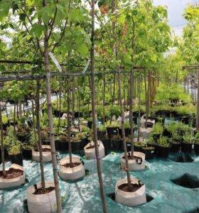 Клён деревья от 1м