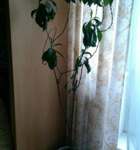 """Растение """"Пахистахис"""" в керамической кадке"""