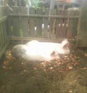 Мясо свинина свежее
