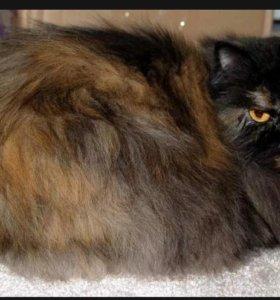 персидкая кошка